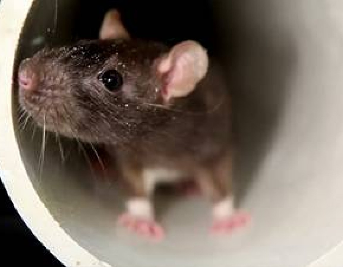 Rodent and Mice Control-Advanced Methods Cleaning