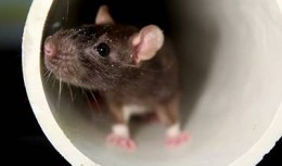 Rodent and Mice Control